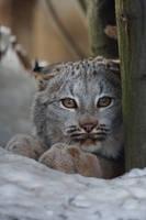 Canadian lynx cub by Tygrik