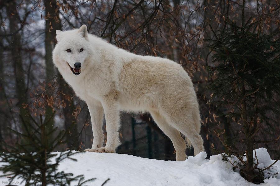 L'antre de Reira White_wolf_by_Tygrik
