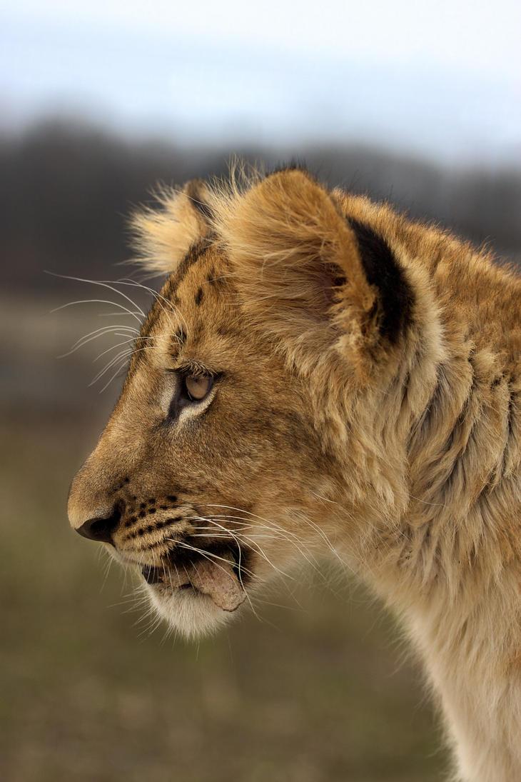 http://th03.deviantart.net/fs71/PRE/i/2010/106/a/a/Lion_cub_SK_by_Tygrik.jpg