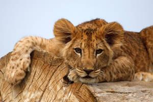Lion cub on a tree