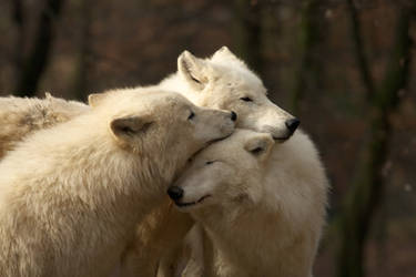 white wolves by Tygrik
