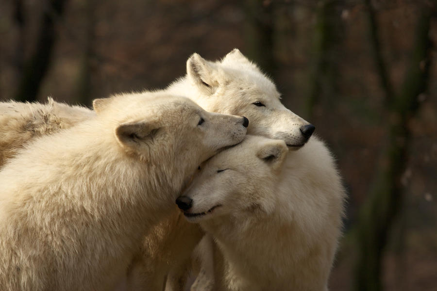 white wolves by Tygrik