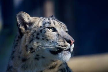 Snow Leopard - Liberec II by Tygrik