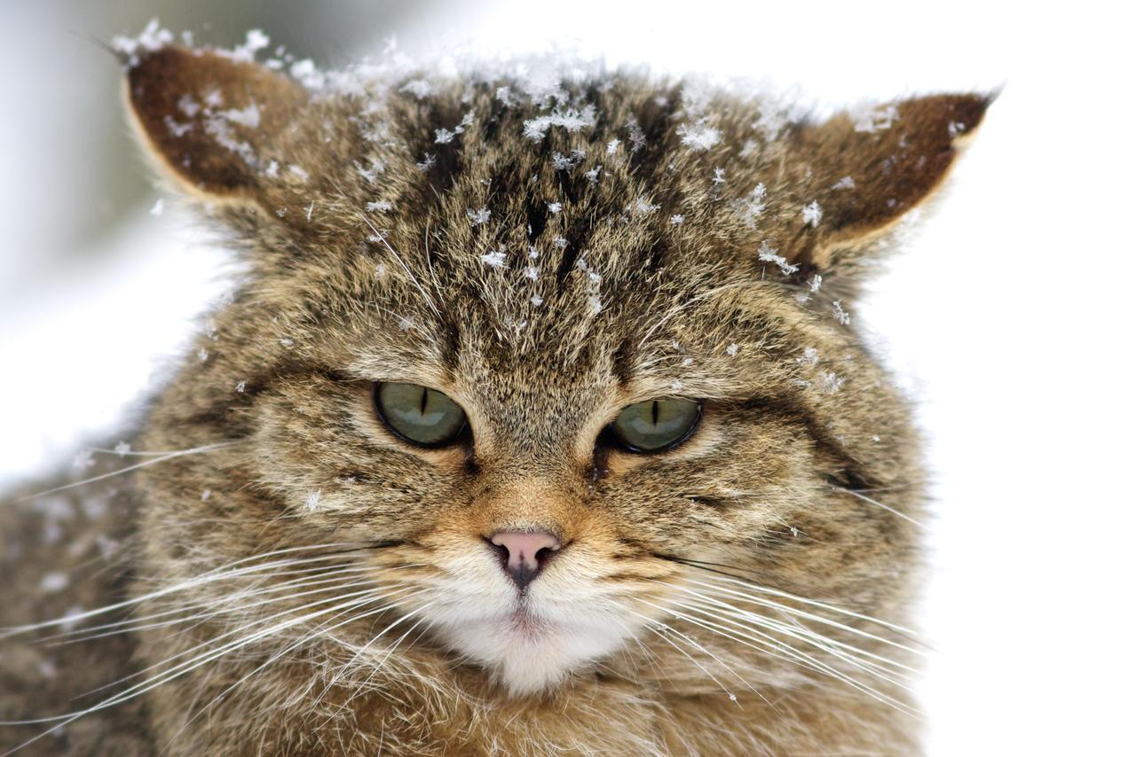 Wild Cat By Tygrik On DeviantArt