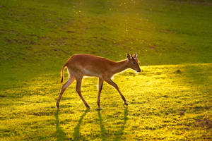 Antelope by Tygrik