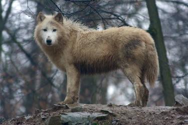 Wet wolf by Tygrik