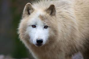 Muddy wolf II by Tygrik