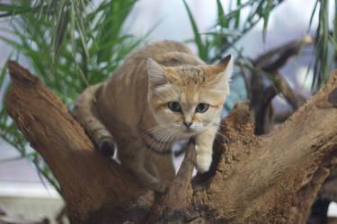 Stalking sand cat by Tygrik