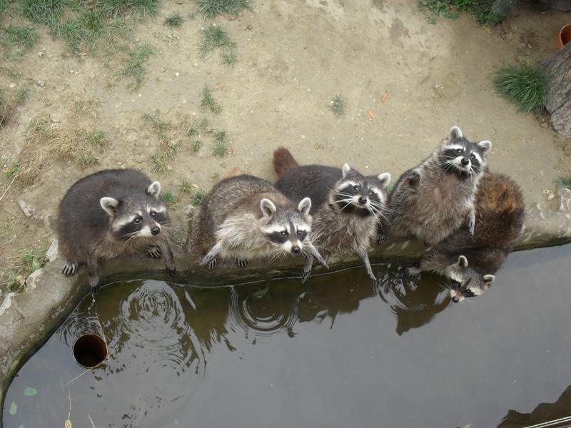 Raccoons by Krisza