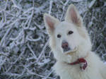 Sasha Snow Dog by LCAnsty