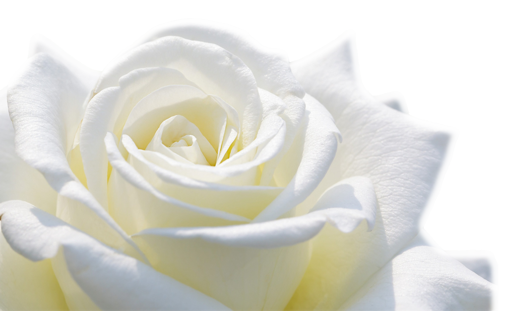White Rose Flower Hd Wallpaper 1920x1200 20829 By Jabernoimi