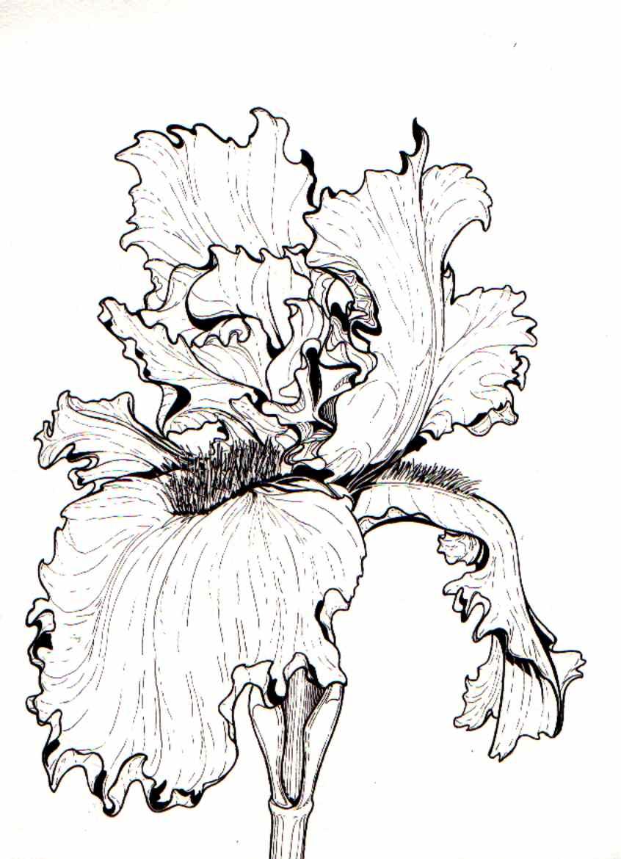 Line Drawing Of Iris Flower : Bearded iris by kltcustoms on deviantart