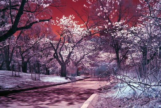 cherry blossom ghosts