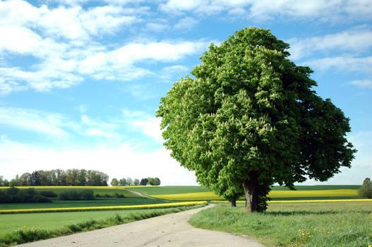 Huge green tree surrounded by rape fields