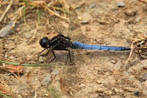Dragonfly (Blue) by Jaiiko
