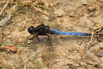 Dragonfly (Blue)