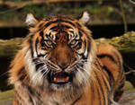 Sumatran Tiger close up 1