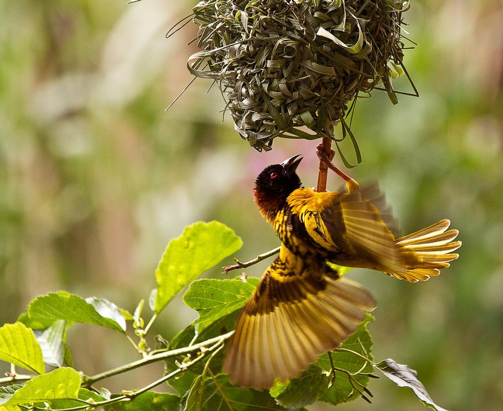 Yellow Weaver bird by James-Marsh