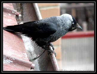 Jackdaw by TheBobson