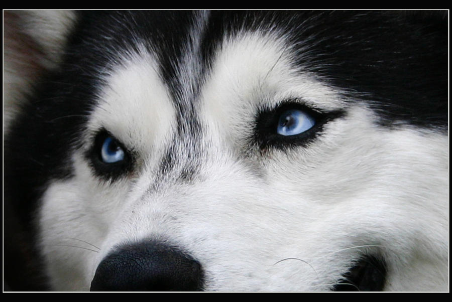 Solid Black Siberian Husky With Blue Eyes Blue Eyes Of Husky by