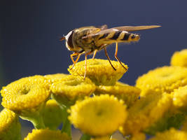 hoverfly 1 by Black-Dragon-High