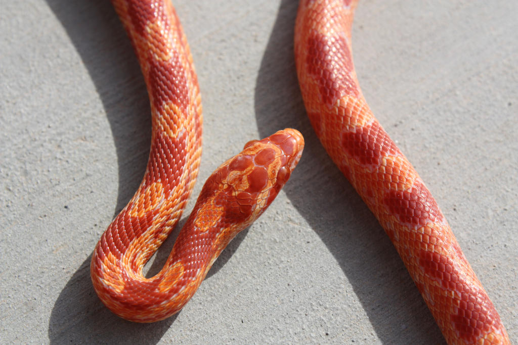 Amelanistic Corn Snake 6 by icantthinkofaname-09 on DeviantArt