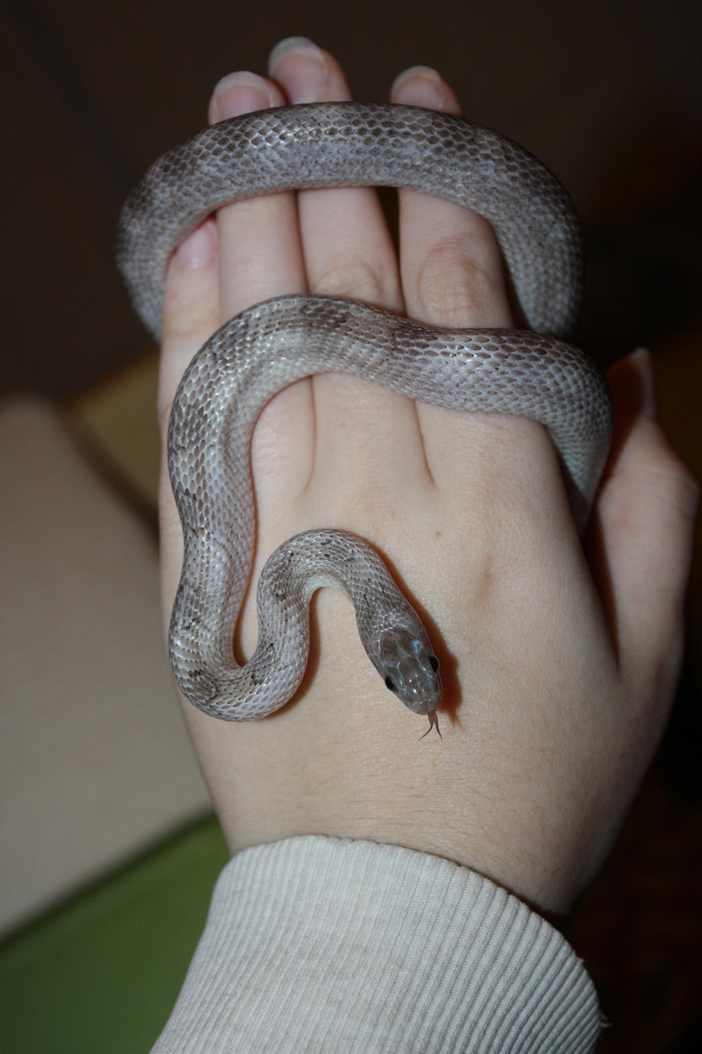 Sterling the Pewter Corn Snake by icantthinkofaname-09