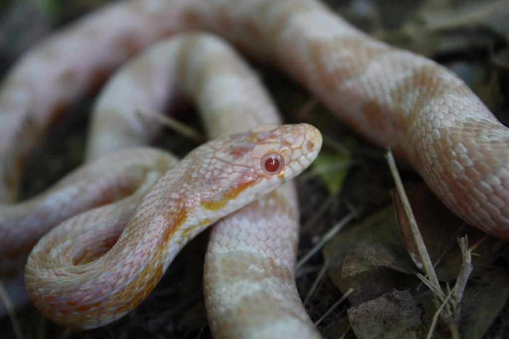 Pink Corn Snake by icantthinkofaname-09