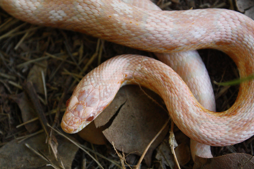 Pink Corn Snake 2 by icantthinkofaname-09