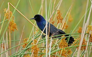 Boat-tailed grackle by alphamegapixel