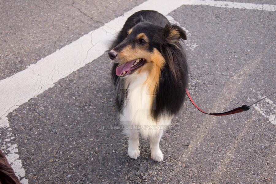 Dog Sheltie Akira