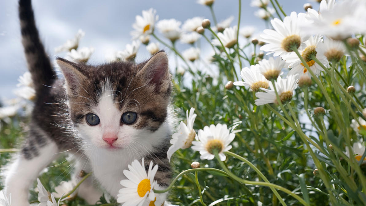 Cats Camomiles Kittens 528547 1920x1080 by Egor412112
