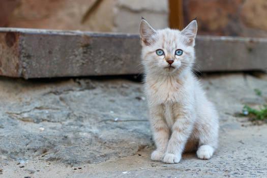 White kitten on the ground.