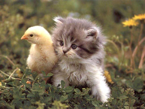 A kitten and a chicken.
