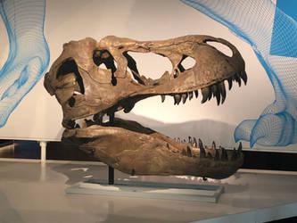 AMNH Albertosaurus Skull