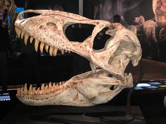 AMNH Tarbosaurus Skull