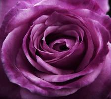 Purple rose by somethingunuasul