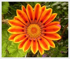 Orange Flower by ryano292