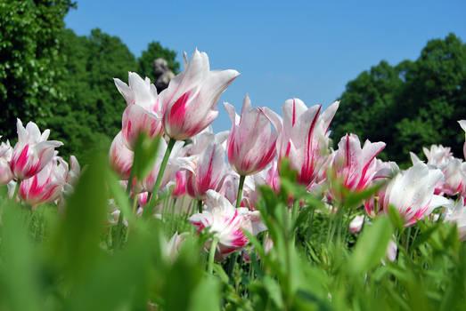 Saski Garden Tulips