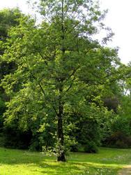 Tree from Skaryszewski Park