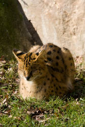 4635 - Serval by Jay-Co
