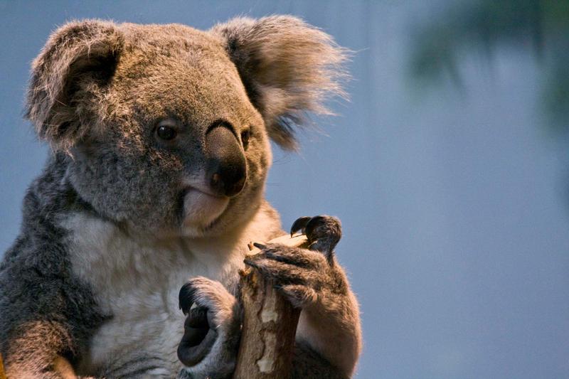 5268 - Koala by Jay-Co