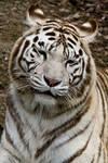 5543 - White Tiger