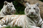 d1203 - White Tigers