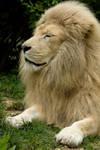 d1207 - White Lion