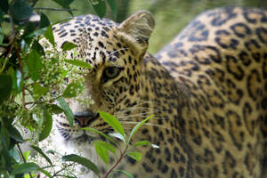 1248 - Persian Leopard by Jay-Co