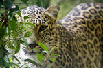 1248 - Persian Leopard