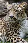 1251 - Persian Leopard