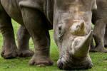 1331 - Rhinoceros