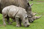 1339 - Baby rhino
